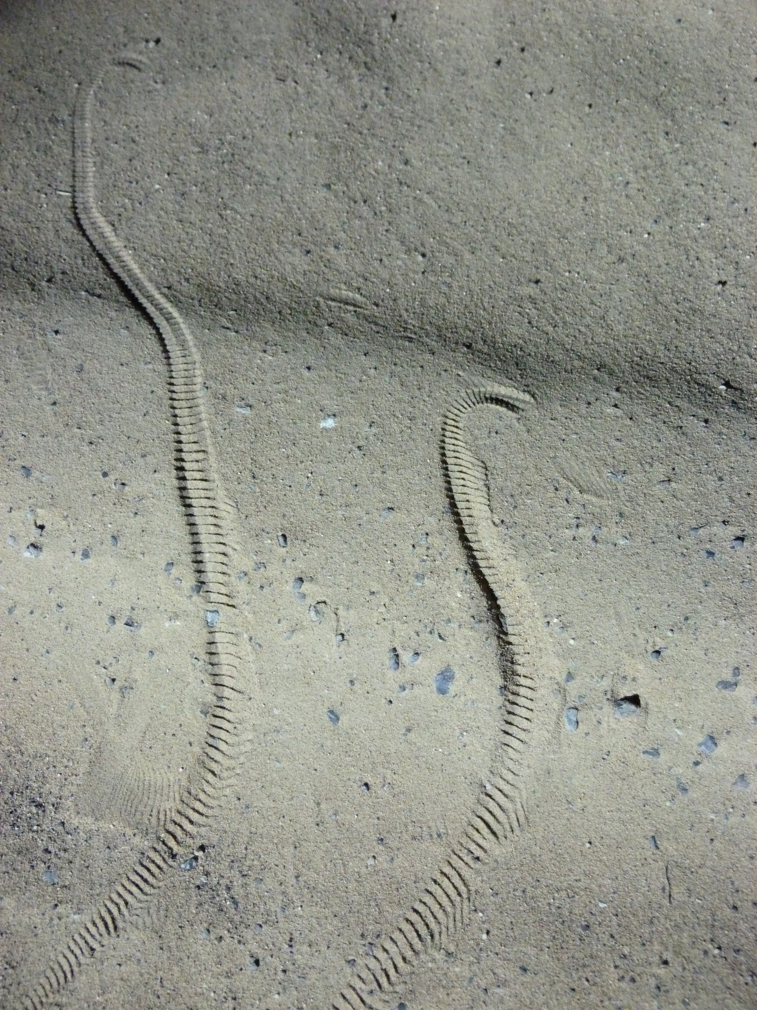 snake tracks in UAE desert