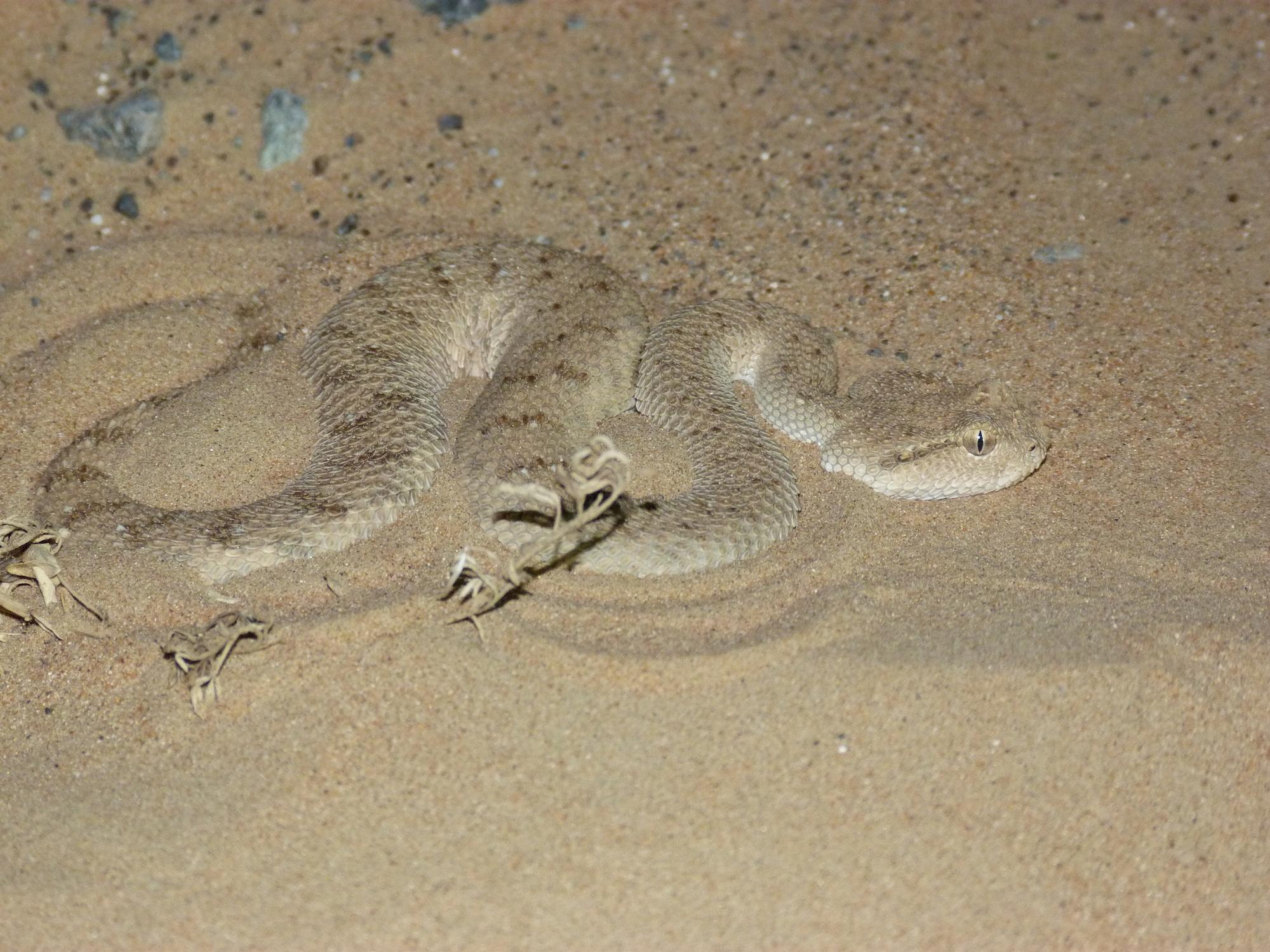 Snake in sand in UAE