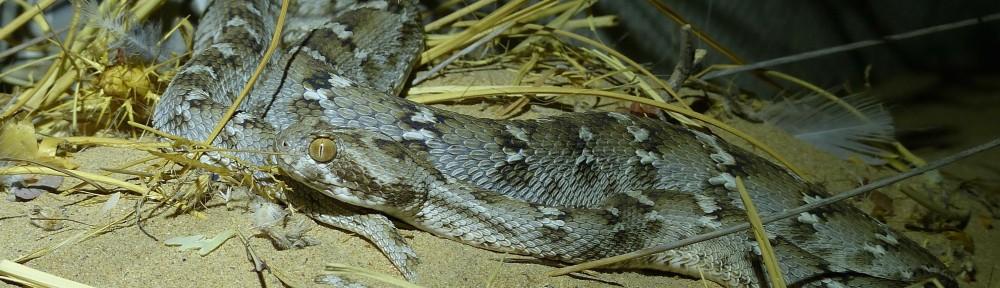 Sand Viper